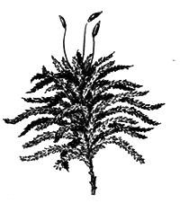 Споровые растения - i_001.png